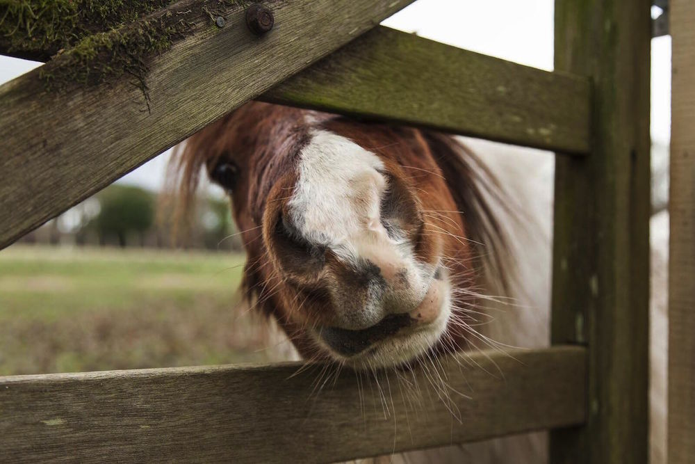 Cheeky pony putting nose through gate.
