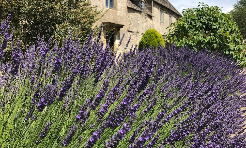 Lavender in a country garden.