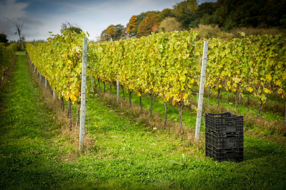 Hattingley Valley Harvest 2016 © The Electric Eye Photography 103 - Cottonworth Vineyard