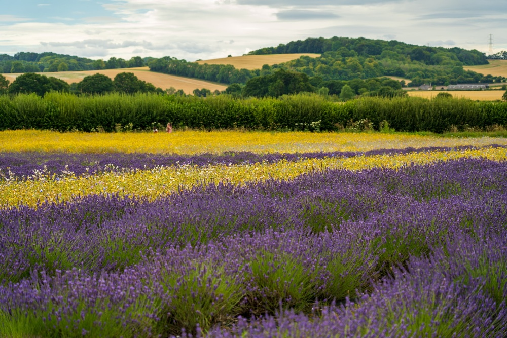 Lavender field Hampshire what's on kids Summer